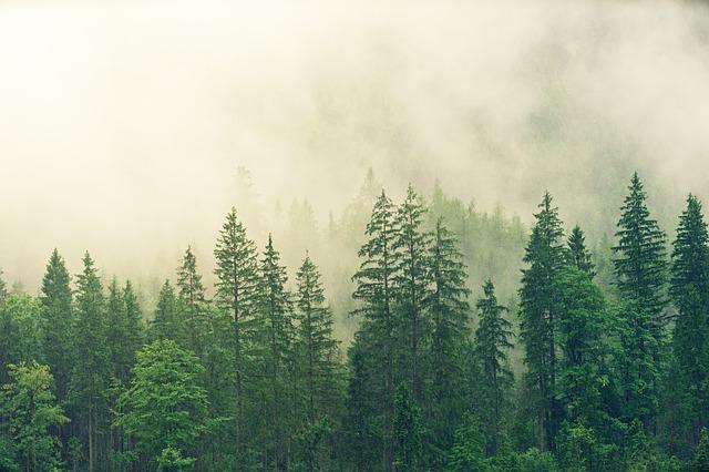 mlha nad jehličnatým lesem